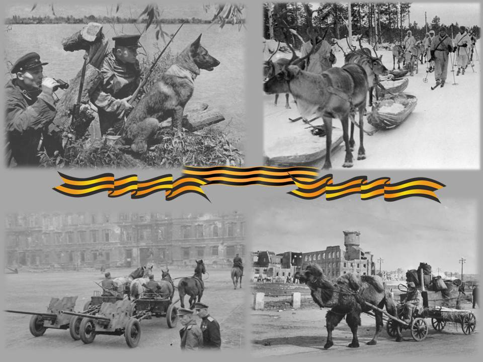 Животные -участники Великой Отечественной войны: собаки, олени, лошади, верблюды на фотографиях