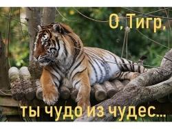 tigr - ty chudo!