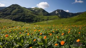 Цветущие жарки в Баргузинском заповеднике