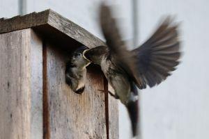 Птицы в скворечнике.