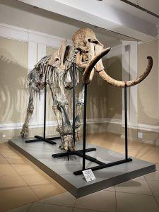 кости мамонта в музее