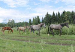 Сибирь. Алтай. Лошади