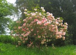 Любимые цветущие кусты Агаты Кристи